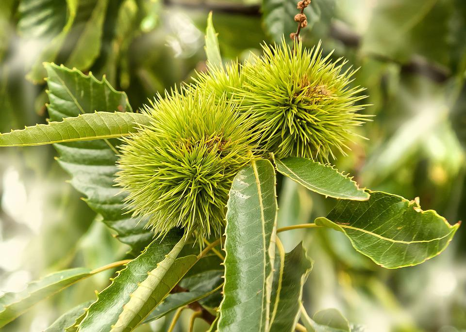 Chestnut, Fruit, Tree, Nature, Spur, Prickly