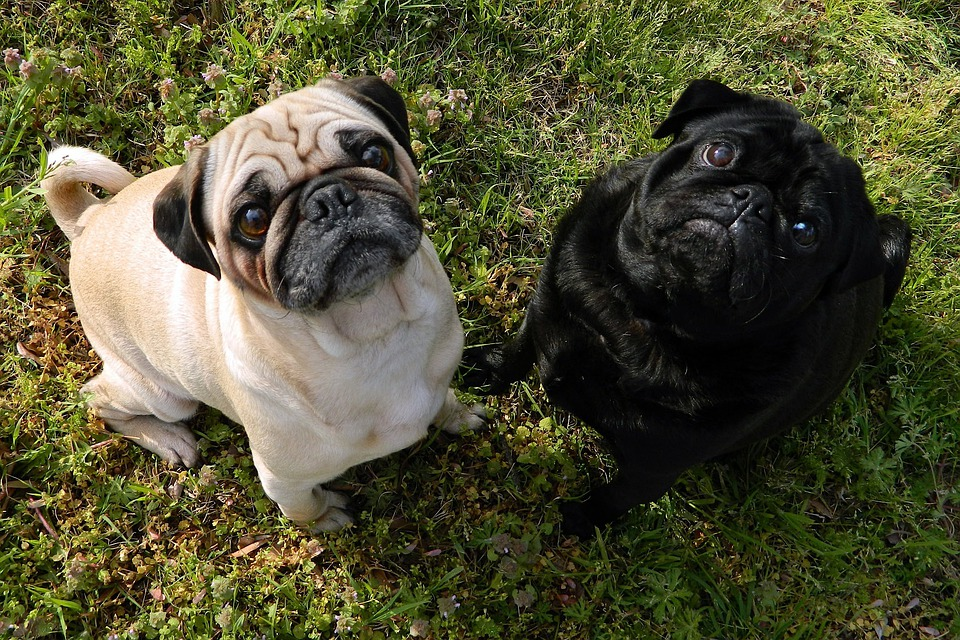 Free Photo Nature Pugs Together Dogs Pet Cute Outside Pets Max Pixel