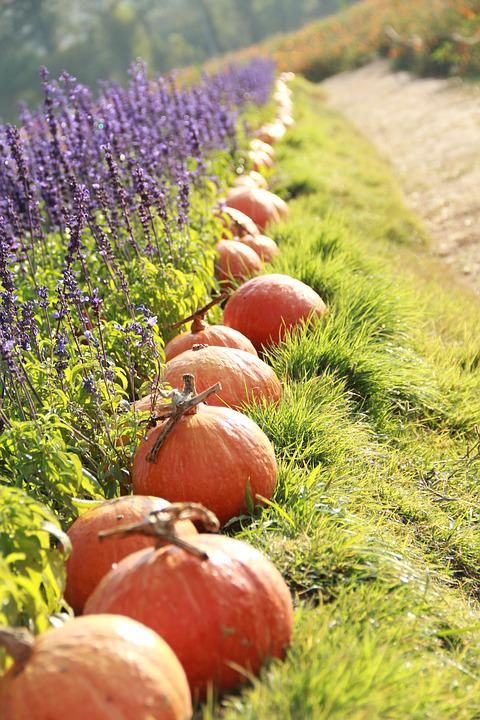 Pumpkin, Lavender, Grass, Nature