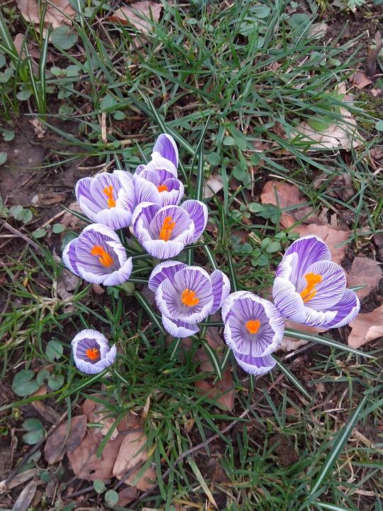 Crocus, Spring, Flowers, Purple, Nature, Early Bloomer