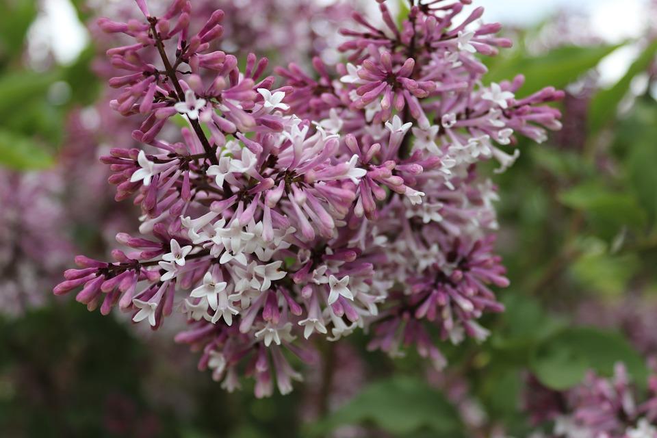 Lilac, Lilac Flower, Purple, Nature, Ornamental Shrub