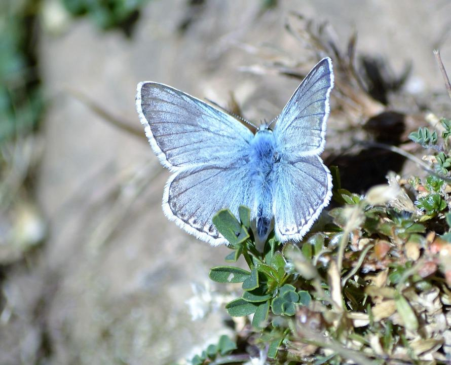 Butterfly, Pyrenees, Nature