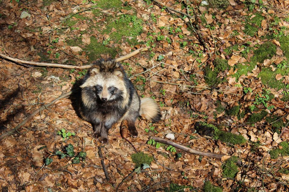 Raccoon Dog, Animal, Wildlife Park, Forest, Nature