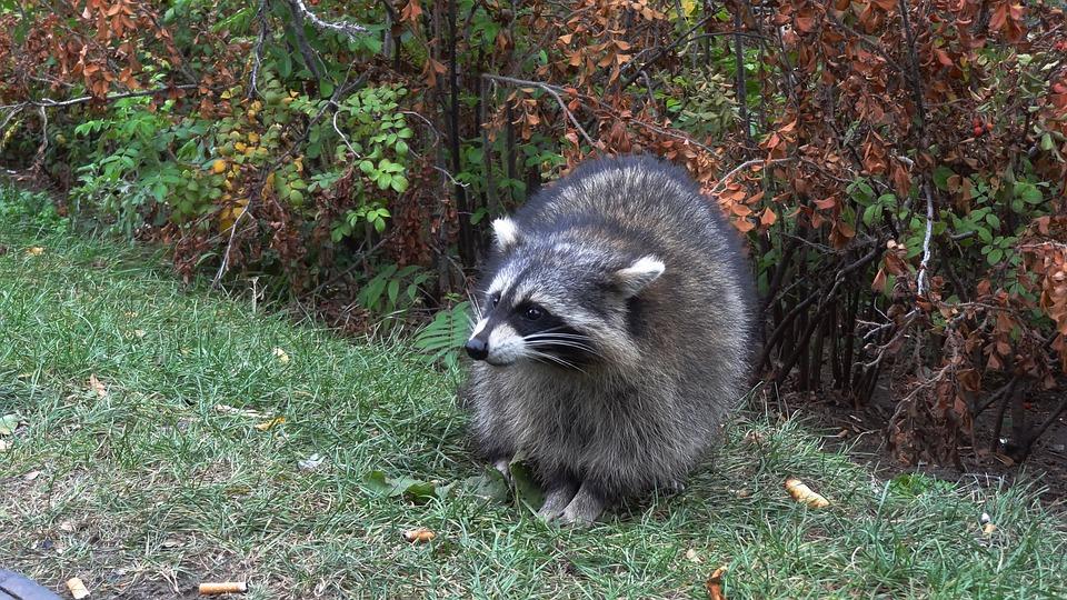 Raccoon, Wild, Animals, Nature