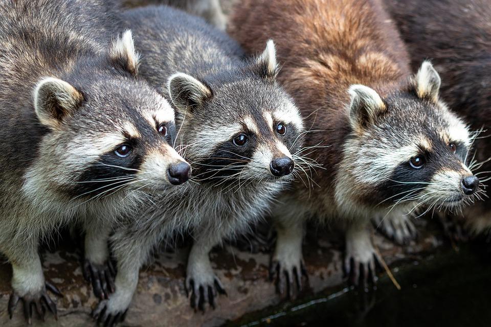 Raccoons, Zoo, Nature, Animal World, Mammal, Furry