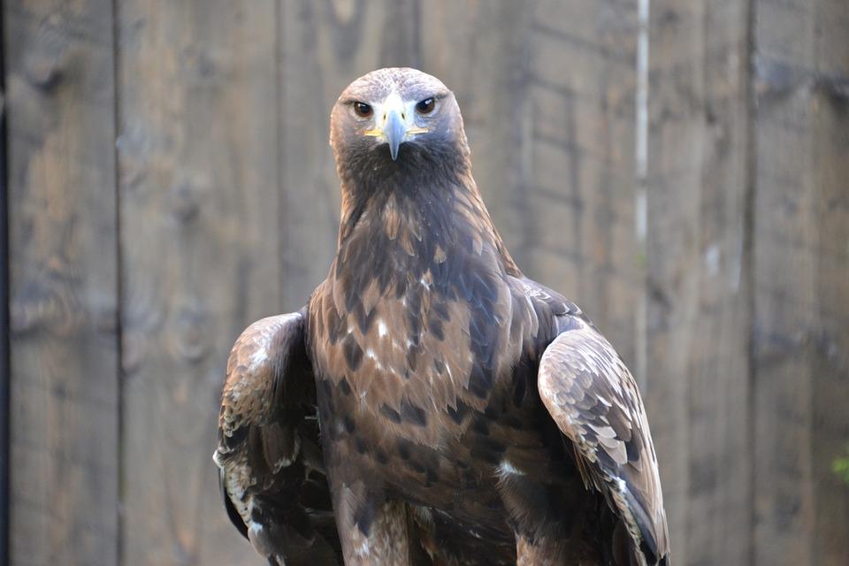 Adler, Raptor, Bird, Bird Of Prey, Animal, Nature