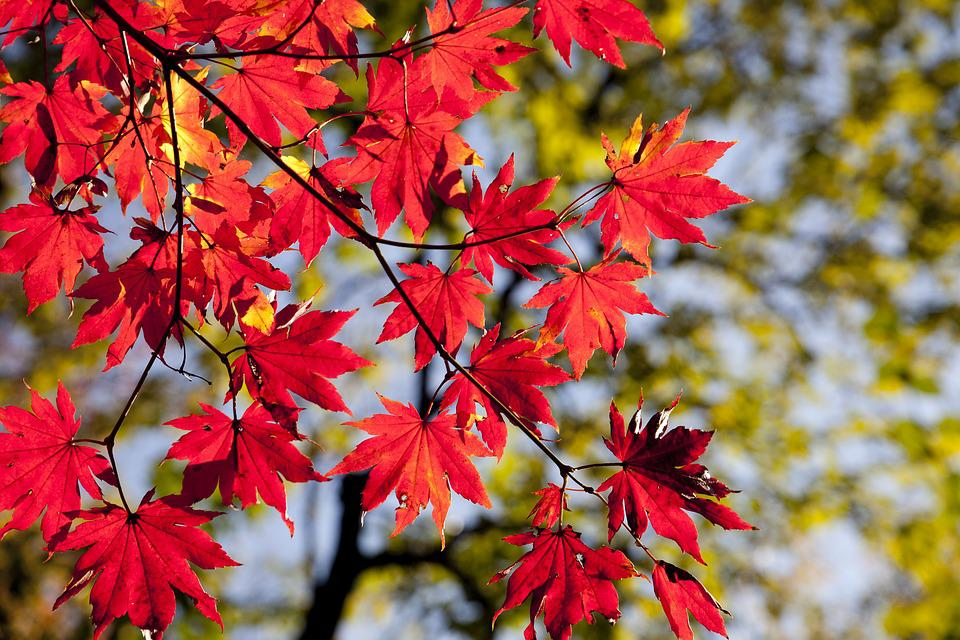 Autumn Leaves, Maple, The Leaves, Autumn, Nature, Red