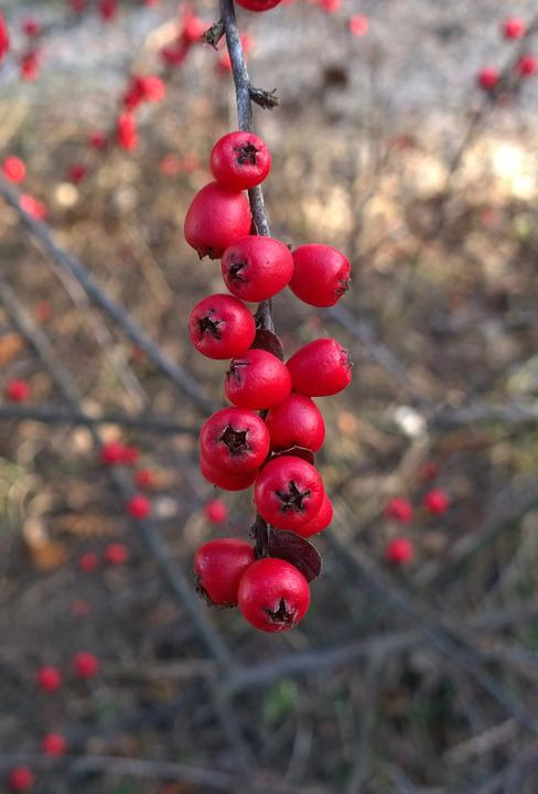 Nature, Crop, Birdseed, Red