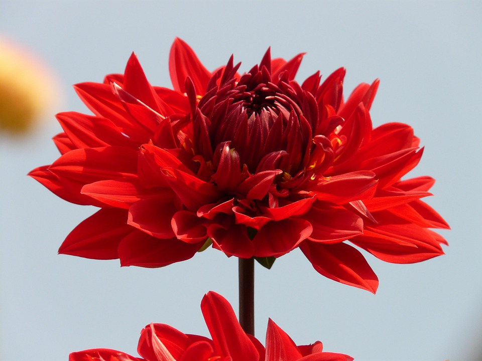 Flower, Nature, Plant, Blossom, Bloom, Red