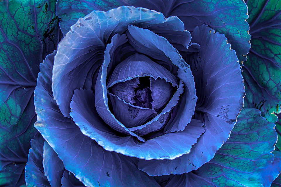Red Cabbage, Kohl, Plant, Vegetables, Nature, Head