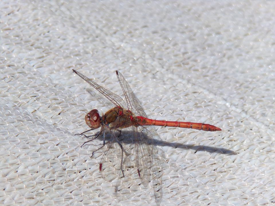 Dragonfly, Insect, Close, Nature, Wing, Red Dragonfly