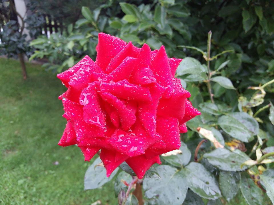 Rose, Red Flower, Plant, Red, Nature, Rosa, Garden