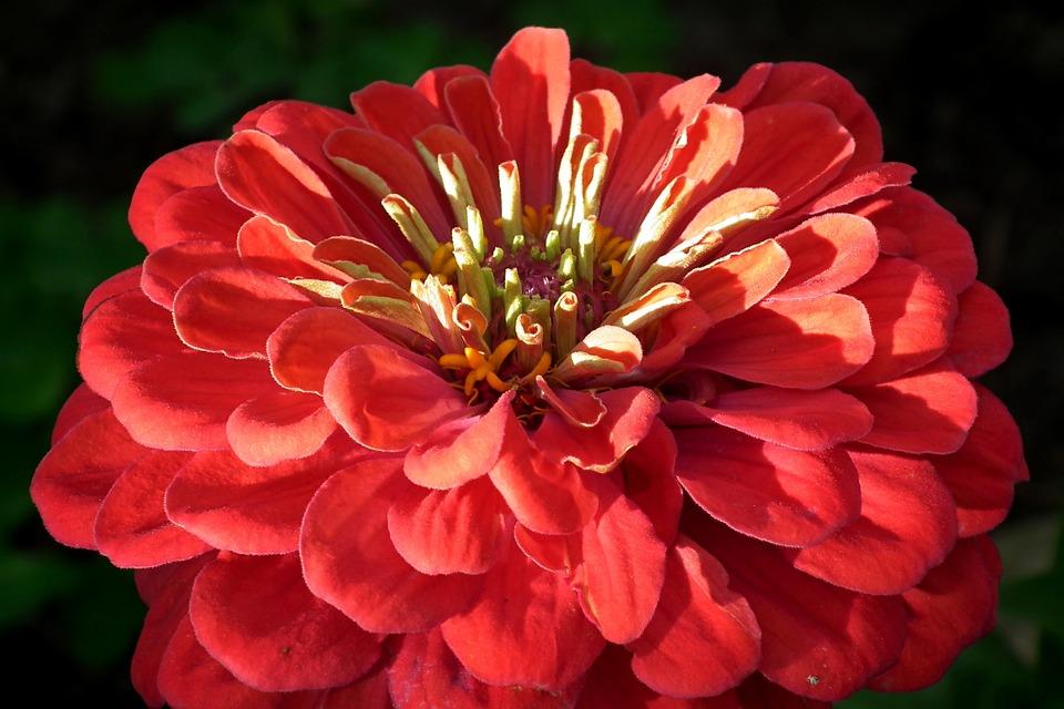 Flower, Zinnia, Red, Garden, Nature, Beauty, Macro
