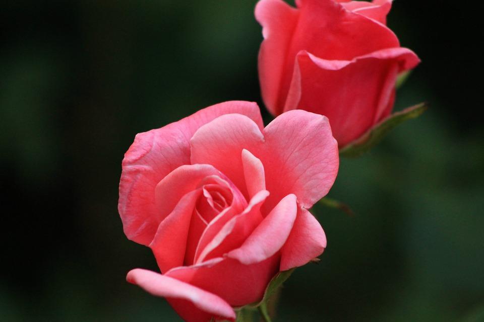 Rose, Red Rose, Nature