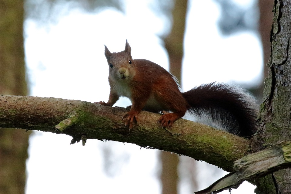 Red Squirrel, Formby, Wildlife, Nature, Uk, Forest