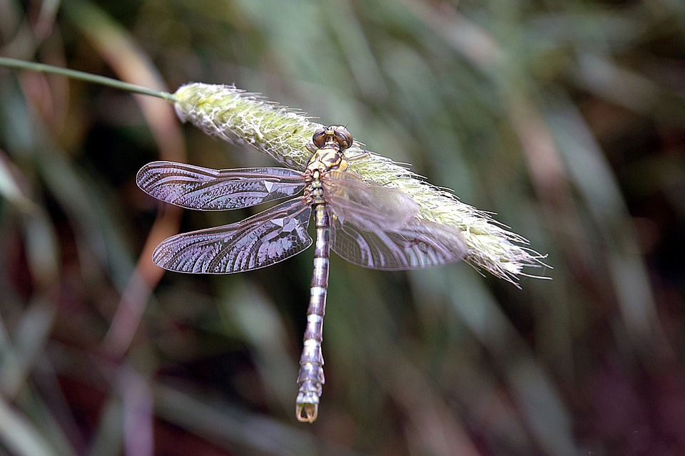 Dragonfly, Insects, Nature Reed