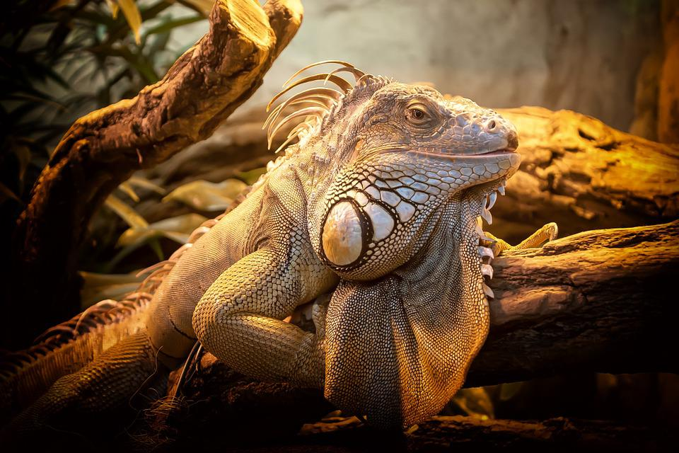 Lizard, Close Up, Nature, Reptile, Animal, Creature