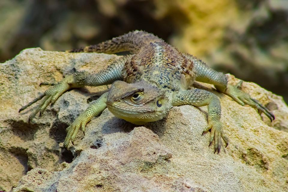 Reptile, Nature, Lizard, Wildlife, Animal
