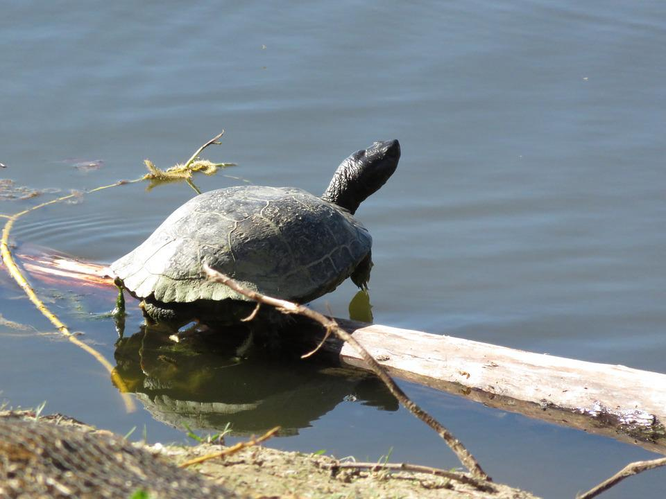 Turtle, Pond, Reptile, Nature, Shell, Lake
