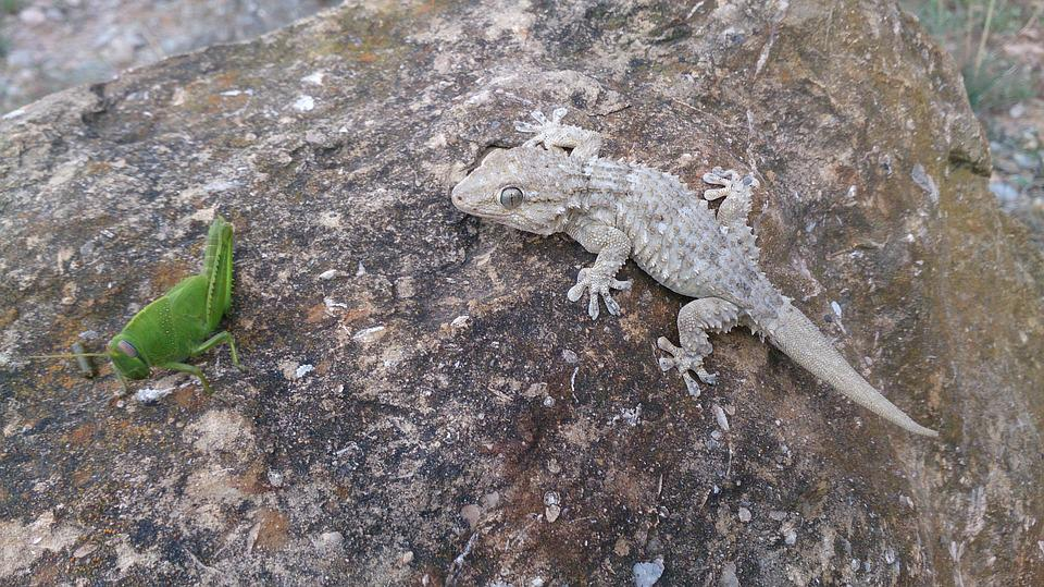 Lizard, Reptilia, Animalia, Nature