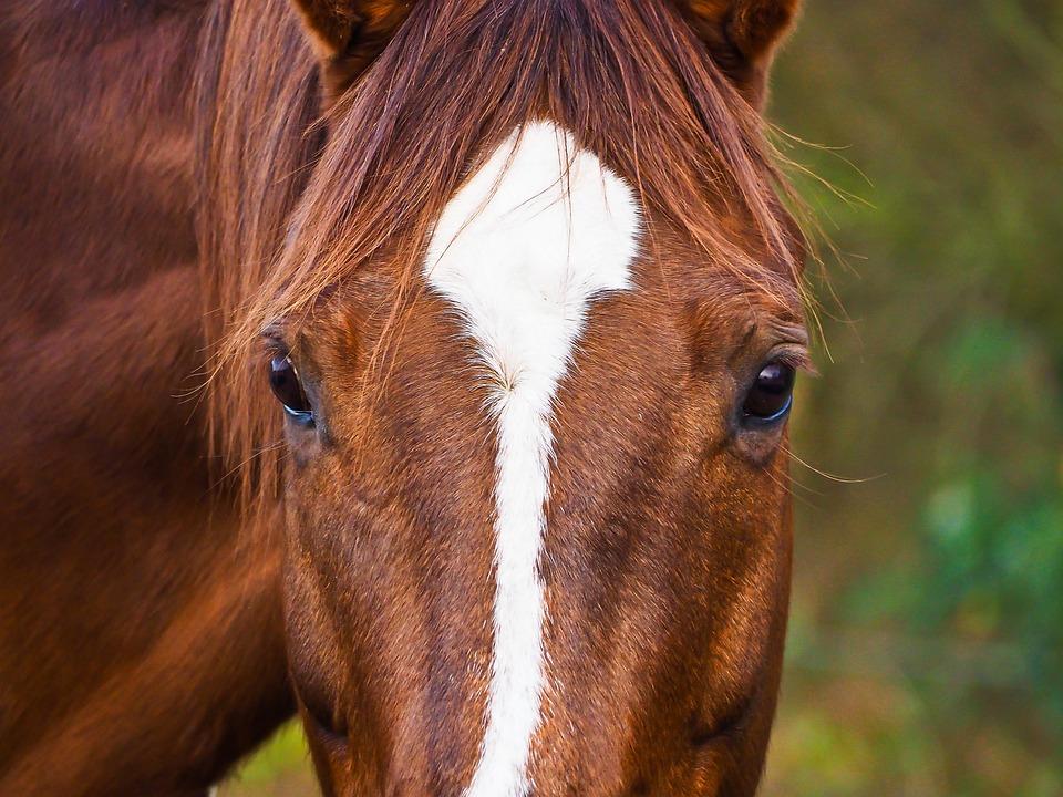 Horses, Animals, Nature, Ride, Pasture, Pferdeportrait