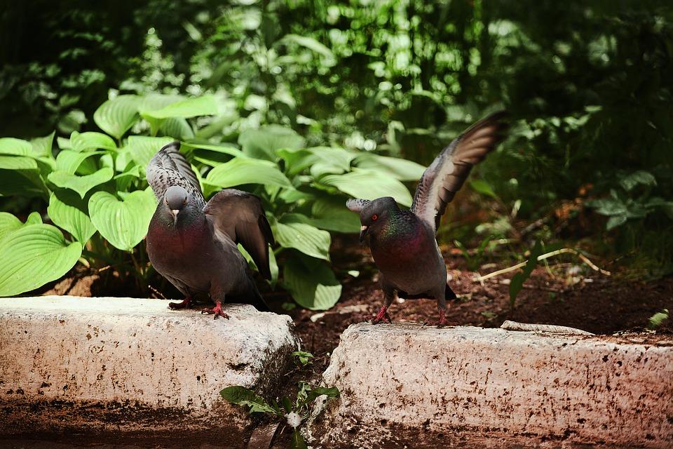Dove, Rivalry, Nature, Park, Animals