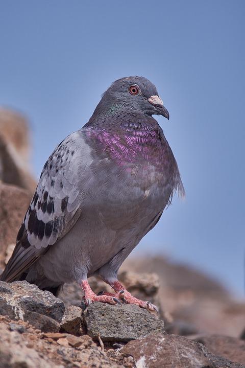 Dove, Rock, Nature, Bird, Animal World