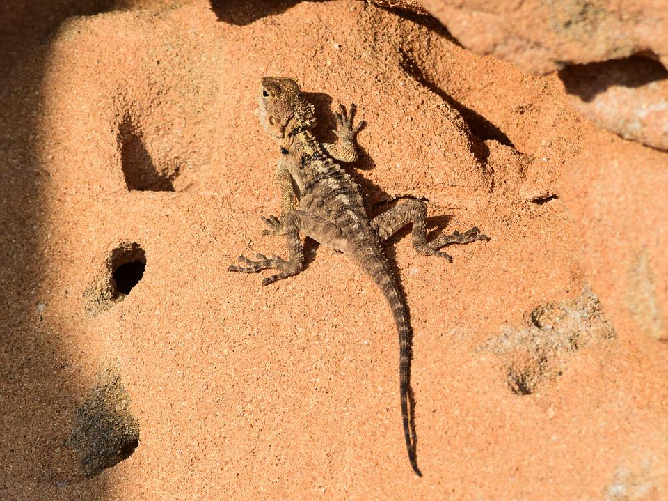 Rock, Nature, Reptile, Lizard, Wildlife, Animal