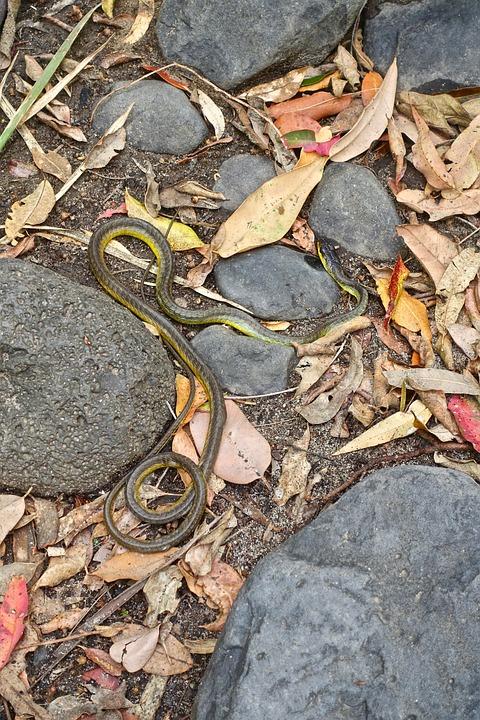 Snake, Leaves, Wild, Rocks, Nature, Biology, Camouflage