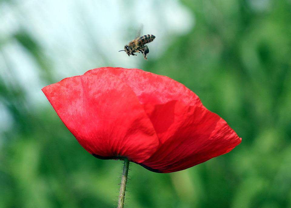 Flower, Poppy, Petals, Rod, Bee, Insect, Nature, Field