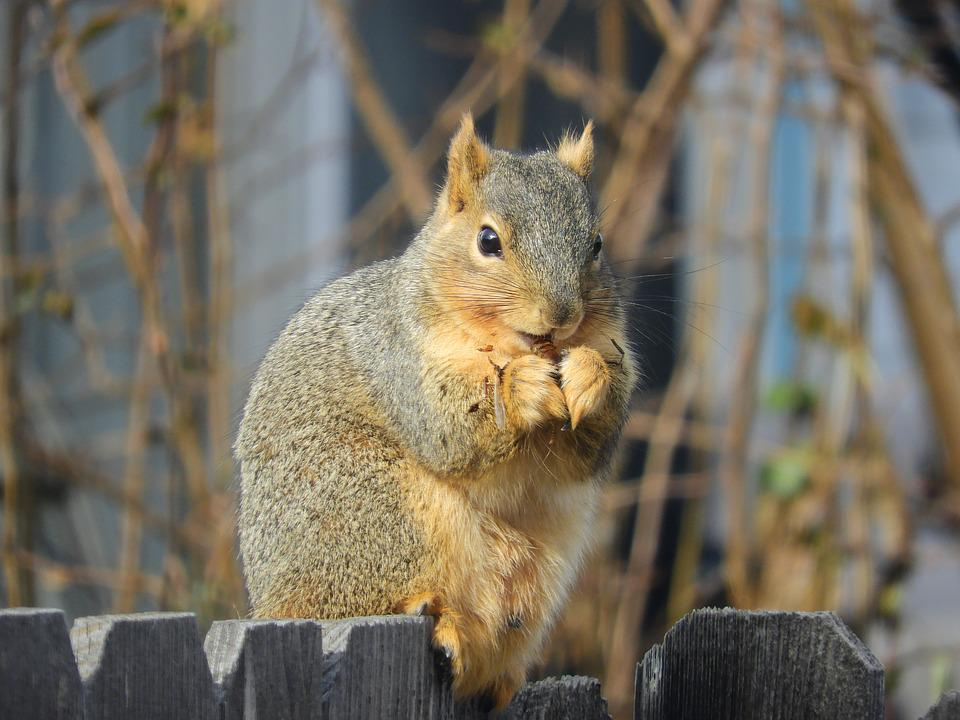 Squirrel, Nut, Eating, Nature, Brown, Gray, Rodent