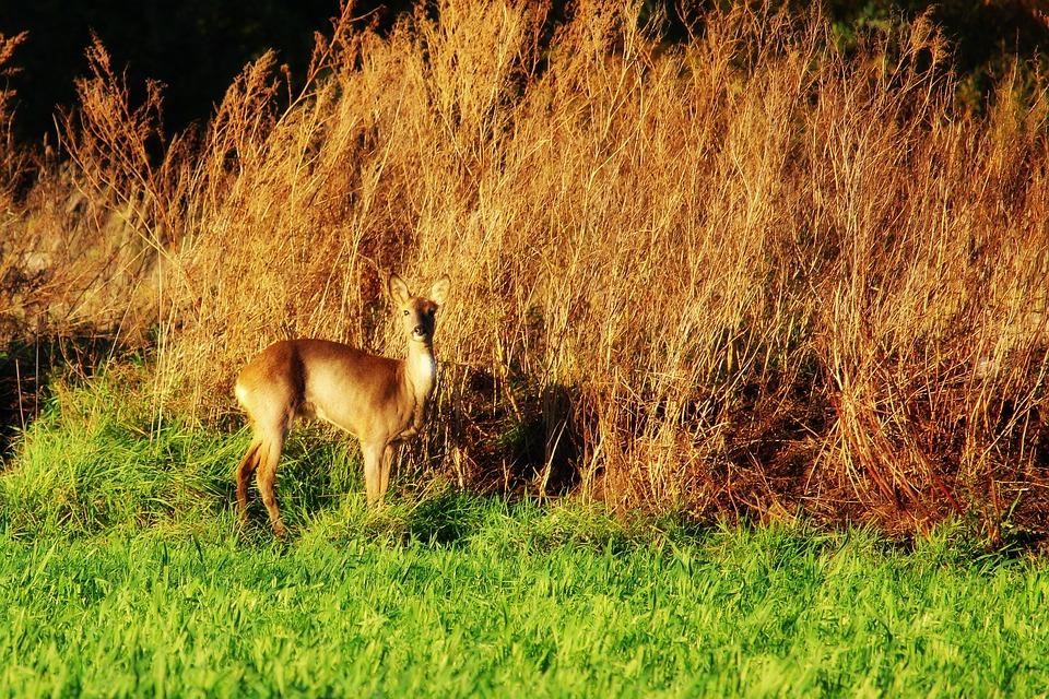 Roe Deer, Wild, Animal, Nature, Mammal, Forest Animal