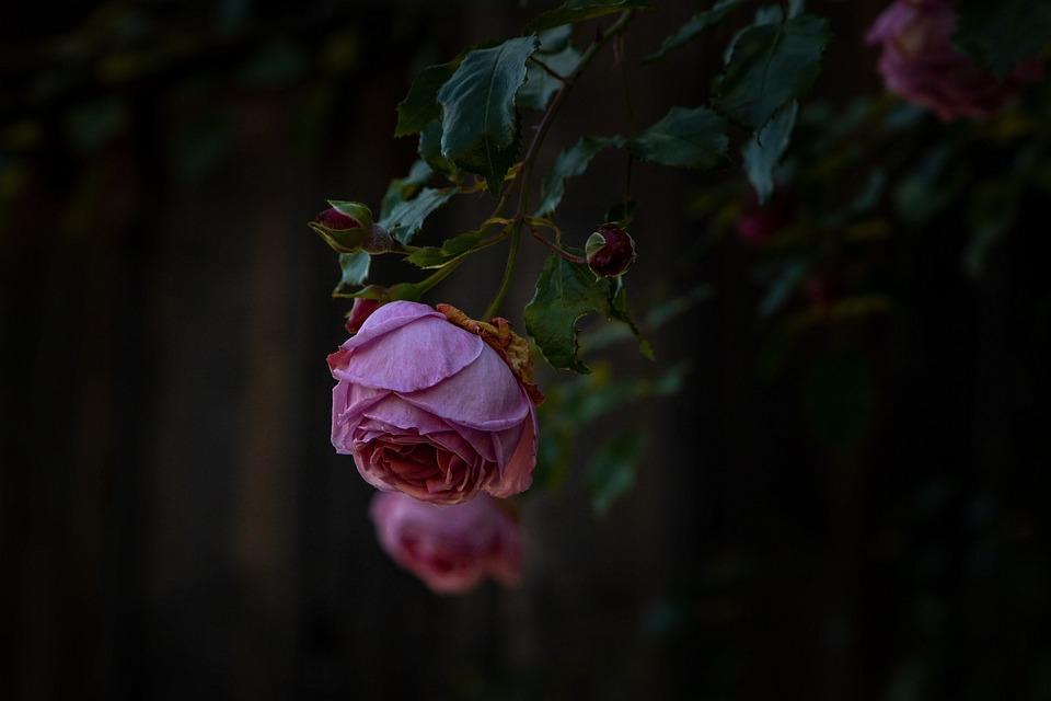 Rose, Flower, Blossom, Bloom, Nature, Romantic