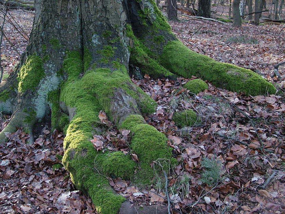 Tree, Root, Moss, Nature, Green