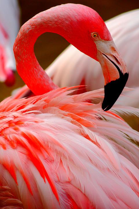 Flamingo, Bird, Rosa, Nature