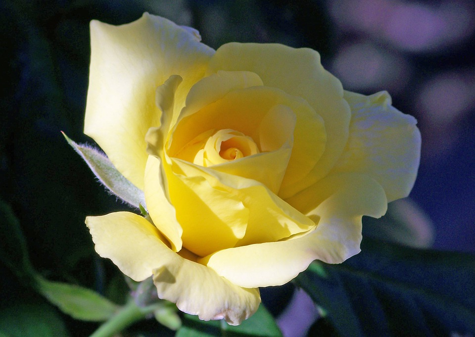 Rose, Bloom, Summer, Yellow, Floral, Nature, Romantic