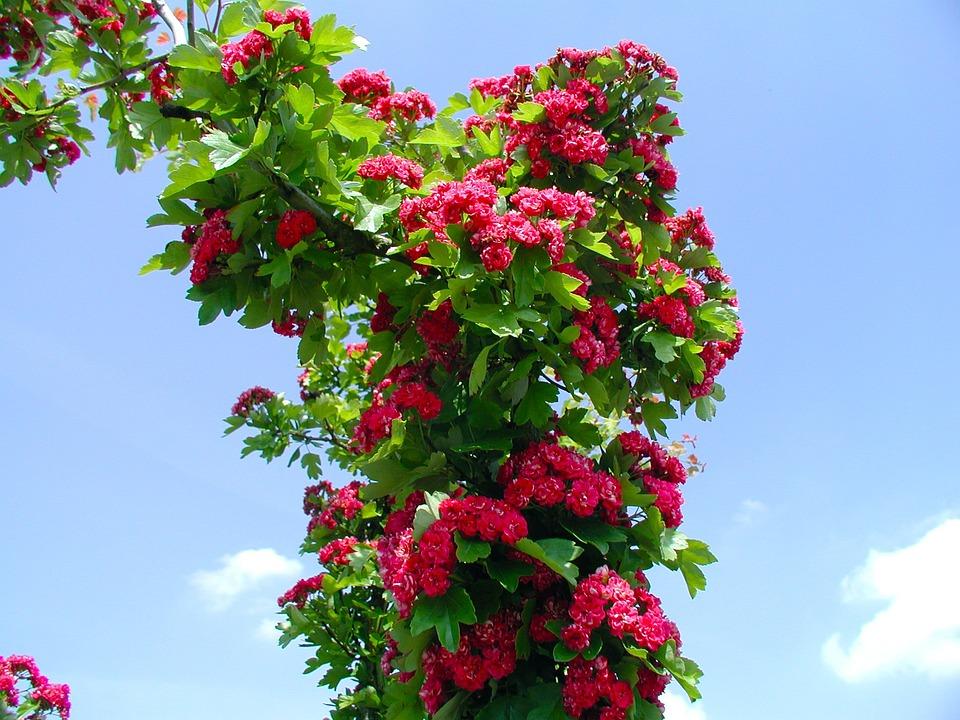 Rose, Nature, Rose Blooms, Blossom, Bloom, Red Rose