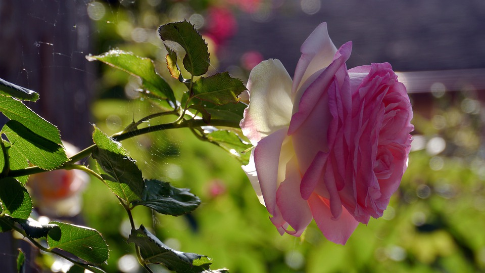 Flower, Nature, Rose