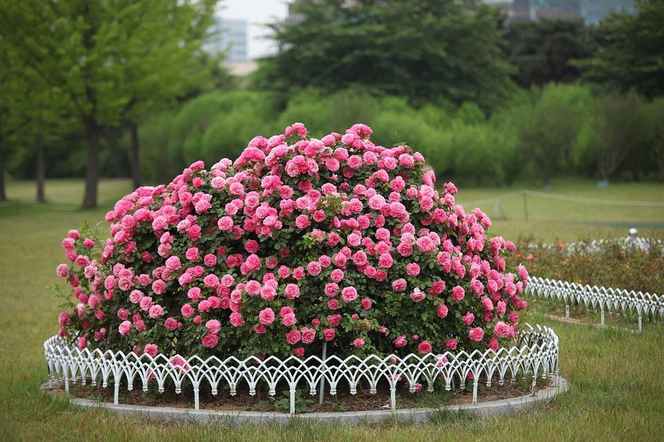Flowers, Garden, Plants, Nature, Summer, Rose, Park