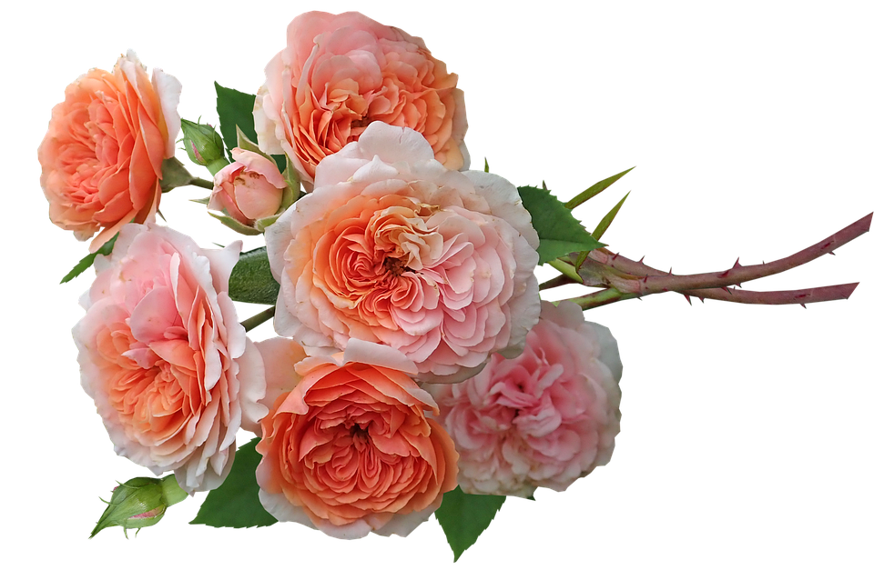 Roses, Flowers, Fragrant, Bunch, Garden, Nature