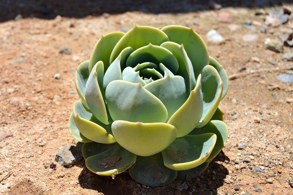 Succulent, Rosette, Green, Plant, Nature, Cacti
