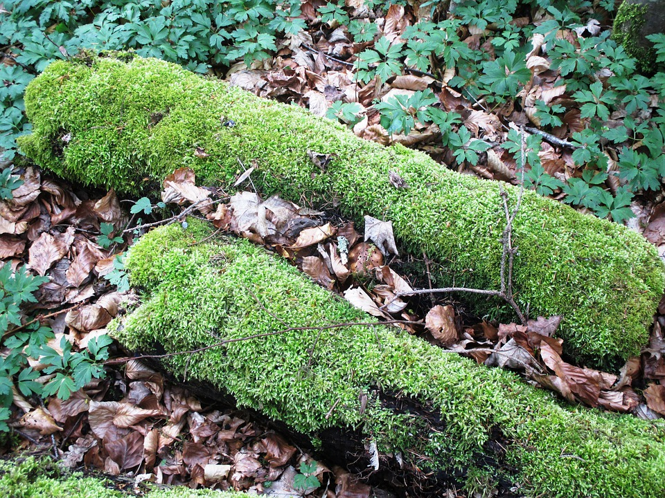 Nature, Forest, Forest Floor, Wood, Rot, Moss