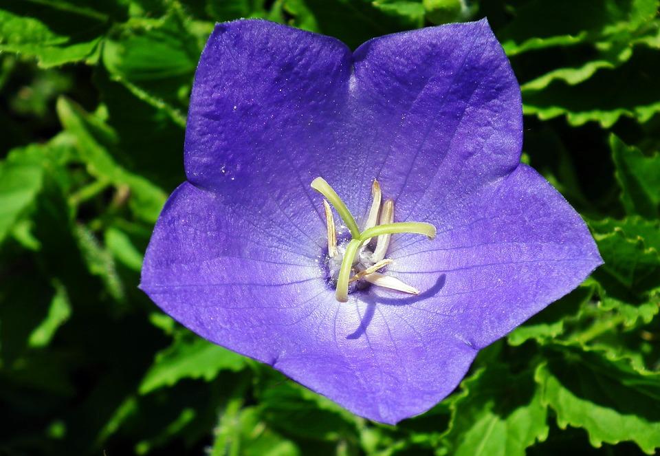 Nature, Flower, Rozwar, Blue, Garden, Summer