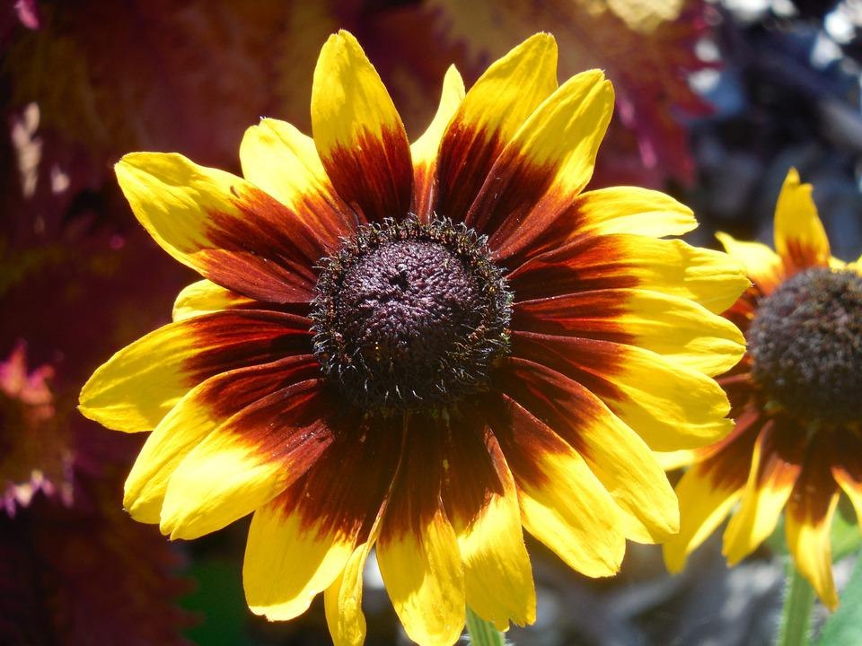 Rudbeckia, Flower, Yellow, Nature, Garden, Summer