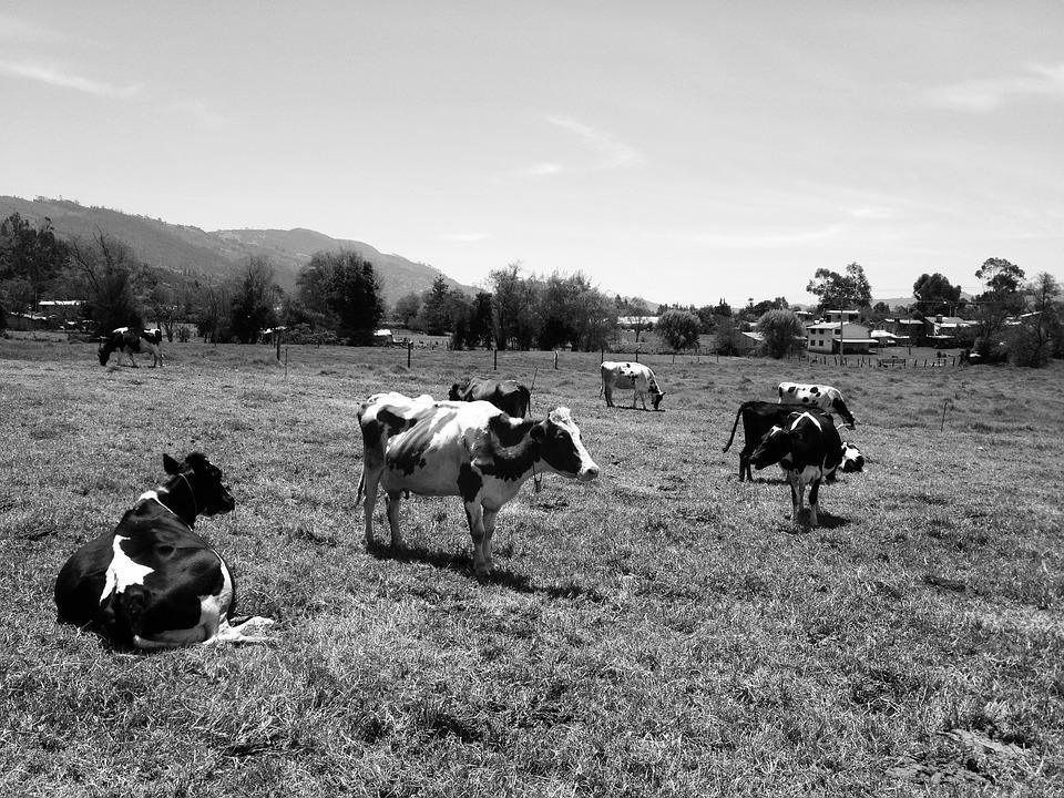 Cows, Portrait, Rural, Nature, Countryside