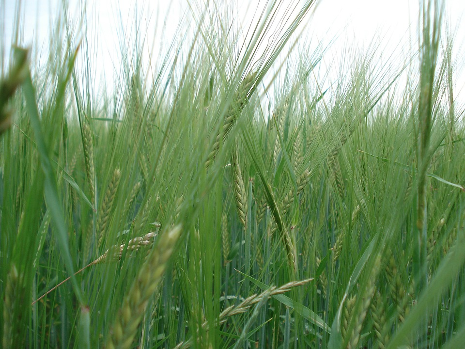 Cereals, Rye, Wheat, Bread, Nature, Nutrition