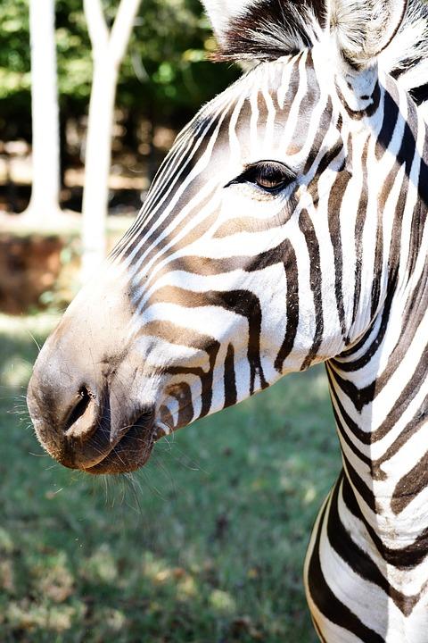 Black, White, Africa, Mammal, Safari, Wildlife, Nature