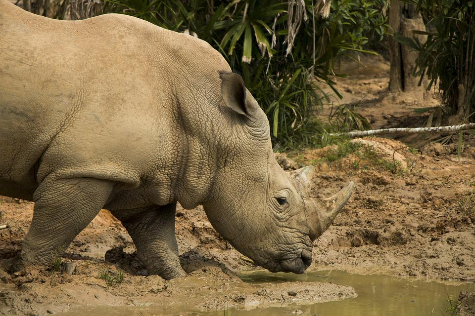 Rhinoceros, Safari, Animal, Nature, The National Park