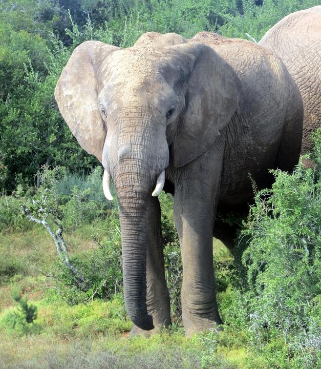 Elephant, South Africa, National Park, Nature, Safari