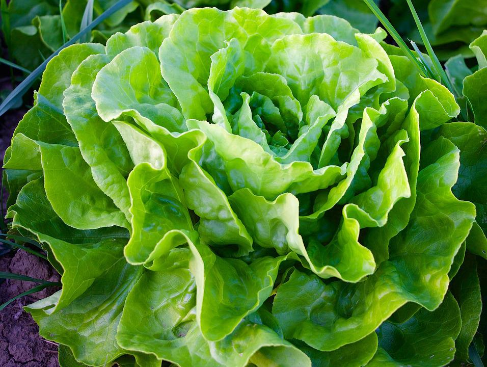 Nature, Plant, Salad, Lettuce, Green, Frisch